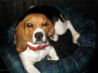 Très belle Femelle Beagle Pur race