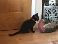 4 Beautiful black kittens 2 boys 2 girls