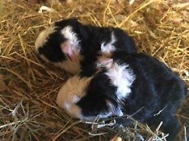 Baby Guinea pigs - teddies