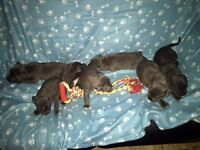 Staffordshire bull terrier pups