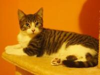 "Young Male Cat - Domestic Short Hair: ""Scribbles"""