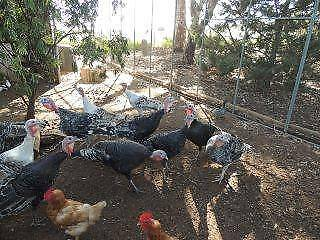 2 TURKEY GOBLERS FOR SALE