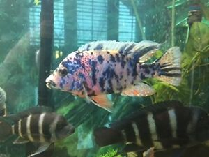SUPER COLORFUL OB PEACOCK, 6 INCH PLUS IN SIZE