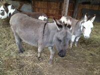 Miniature Donkey - Jenny
