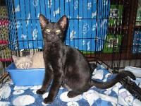 "Baby Male Cat - Domestic Short Hair: ""T-Bone"""