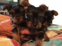 Absolutely Stunning very small male Yorkshire Terrier Puppies for sale