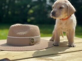 KC Chunky Labrador Puppies