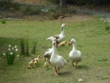 Free 6 adult geese Port Sorell Latrobe Area Preview