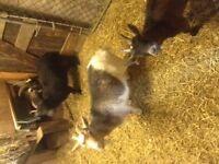 4 Pygmy goats
