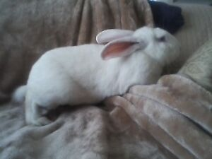 GIANT FLEMISH/ CONTINENTAL MIX WHITE BUNNY MALE FOR ADOPTION