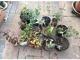 Job lot of small shrubs grown from cuttings