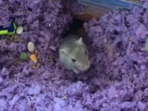 Gerbil (female) with accessories