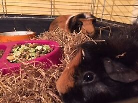 2 guinea pigs with indoor house for sale.