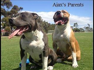 Pure Bred American Staffy Pups (blue bloodline) Meadow Heights Hume Area Preview