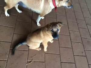 Pure Dingo X dingo\border collie puppie Tolga Tablelands Preview
