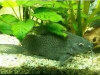 "Synodontis catfish at least 5"" or 13cm long for fish tank aquarium wembley kofh"