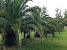 Canary Island Date Palms Glen Martin Dungog Area Preview