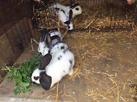 Continental rabbits for sale