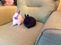 Netherland Dwarf Baby Rabbits.