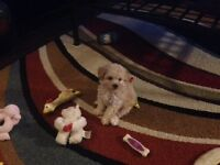 Tiny female toy poodle pure no papers