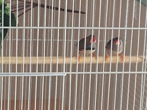 finches for sale cheaper price Kitchener / Waterloo Kitchener Area image 2