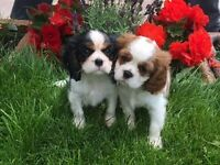 Adorable Cavalier King Charles pedigree puppies for sale