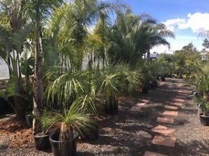 Palms, Exotics, Grasses & Grass Trees For Sale Melton Melton Area Preview