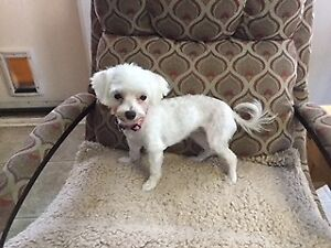 2 years old female Maltese  for sale