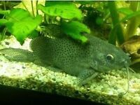 "Synodontis catfish at least 4.5"" or 11cm long for fish tank aquarium wembley kofh"