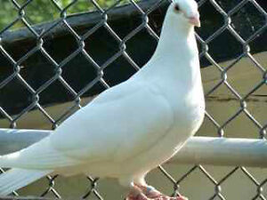 Pigeon (White Racing Homers or Wedding Dove)