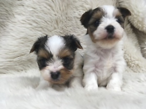 Biewer puppies