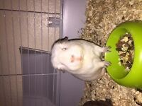 Free Whit Guinea Pig
