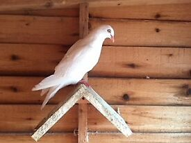 5 white pigeons for sale