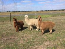 Alpaca's for sale Garfield Cardinia Area Preview