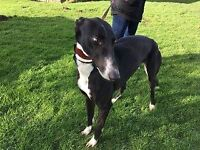 Greyhounds needing loving homes in Norfolk, Cambs or Lincolnshire