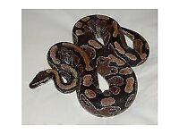 18 month old female royal python and starter tank and setup £50
