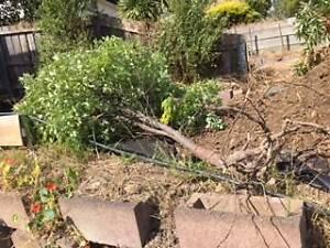 Pittosporum trees Kingston Kingborough Area Preview