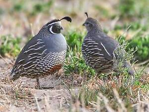 3 Carlifornian Quails for sale Carlingford The Hills District Preview