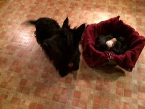 Scottish Terrier Puppies For Sale ONLY A COUPLE LEFT