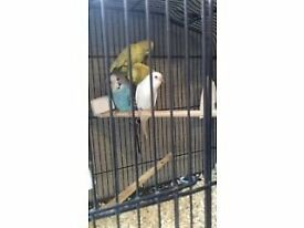 young budgies and zebra finches for sale