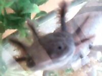 Black axolotls for sale