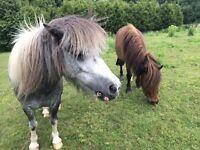 Miniature Shetland ponies for sale