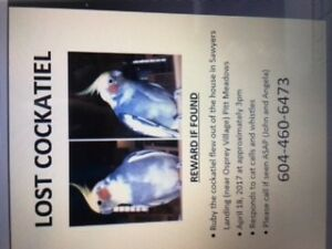 Lost cockatiel - Pitt Meadows BC