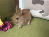 Netherland Dwarf Rabbits For Sale