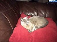 Missing Cat - Blue Burmese Female Betty has white spot on chest & only fang teeth Ring 07531464010