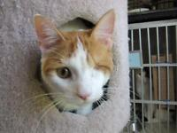 """Young Male Cat - Domestic Short Hair: """"Squirt"""""""