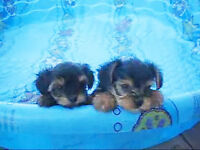 tea cup yorkies puppies for you guys