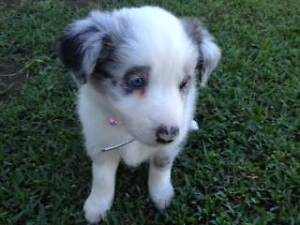 BLUE MERLE BORDER COLLIE PUPS FOR SALE Marian Mackay Surrounds Preview