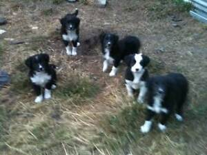 BORDER COLLIE PUPS Frankford West Tamar Preview