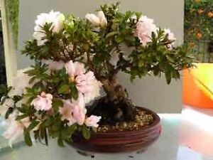 BONSAI AZALEA - SPECTACULAR Bexley Rockdale Area Preview